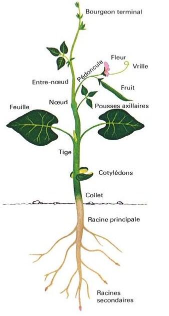 Les Petites Herbes Elements De Botanique